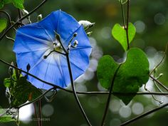 Blue flower  by mayorovnht #nature