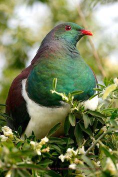 Cute Birds, Pretty Birds, Beautiful Birds, Exotic Birds, Colorful Birds, Ancient Runes, Pigeon Breeds, Wood Pigeon, N Animals