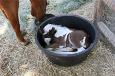 Just a foal in a bucket... silly baby, you don't nap there!