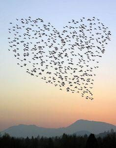 """Un magnifique """"coeur"""" formé par un cortège d'oiseaux en vol......"""
