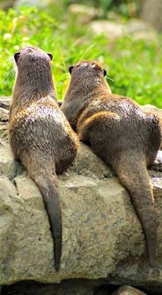 River otters kicking back Water Animals, Animals And Pets, Baby Animals, Baby Giraffes, Wild Animals, River Otter, Sea Otter, Tiger Cubs, Tiger Tiger
