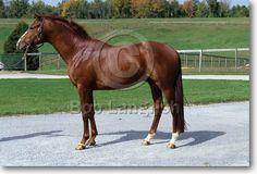 Oldenburg - stallion Paradigm