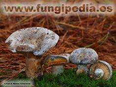 Lactarius hemicyaneus es un hongo del orden Russulales también conocido como Lactarius quieticolor var hemicyaneus, Níscalo, rovellón, pinatell... ver más información.
