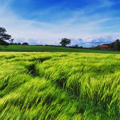 Walking through a bright green field of barley being blown by the wind.. #view #nature #tree #southeast #greenfield #seeds #path #barley #farm #bright #contrast #summer #flowers #southdowns #nationaltrust #landscape #landmark #fields #agriculture #england #sussex #beautyspot #clouds #cloudscape #sky #bluesky