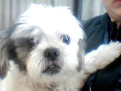 Snuff is an adoptable Shih Tzu Dog in Fort Worth, TX. Snuff is a loving, handsome boy who needs a special family. He is about 8 years old and was adopted by an older woman when her husband passed away...