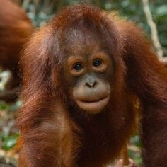 Jalapat: Adoptions - Borneo Orangutan Survival Australia Borneo Orangutan, Baby Orangutan, Types Of Animals, Cute Animals, Rainforest Animals, Bedroom Wallpaper, Prehistoric Animals, Smileys, Primates