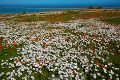 <b>Wildflowers</b> above the bay West Coast National Park…