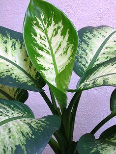 Top Plants for Air Purification | Dieffenbachia Amoena 'Tropic Snow'