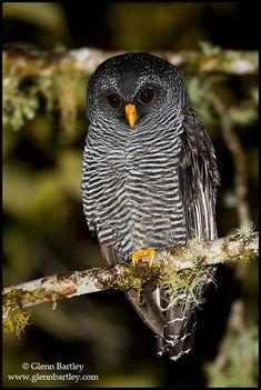 Black-banded Owl (San Isidro) - 04.jpg (503×750) CORUJA-DE-LISTRAS.
