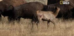 Un wapiti poursuivi par un loup se réfugie au milieu d'une harde de bisons. Mal lui en prend!