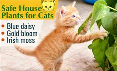 Cat friendly plants grown in or around your house ensure that your kitty won't develop an allergic reaction or be poisoned when poking its nose around the pots and plant beds.