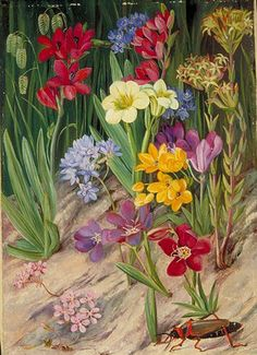 Kew: Marianne North Gallery: Painting Flowers of Tulbagh, South Africa Botanical Flowers, Tropical Flowers, Botanical Art, Nature Illustration, Botanical Illustration, Beautiful Paintings Of Flowers, Marianne North, Botanical Drawings, Art Uk
