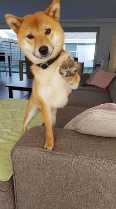 Beautiful Shiba Inu giving everyone a Paws Up!