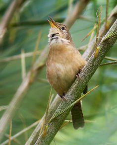 Foto corruíra (Troglodytes musculus) por Daniel Mello | Wiki Aves - A Enciclopédia das Aves do Brasil