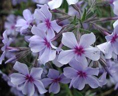 Phlox divaricata 'Chattahoochee' - Wald-Phlox