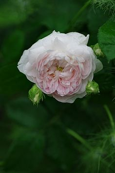 Gallica Rose: Rosa 'De Schelfhout' (Belgium, c.1840)