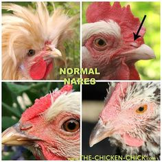 A chicken's nostrils are called nares. The nares should be clean and free from discharge or crustiness. Mobile Chicken Coop, Cheap Chicken Coops, Portable Chicken Coop, Best Chicken Coop, Chicken Coop Plans, Building A Chicken Coop, Clean Chicken, Chicken Pen, Chicken Life