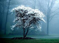 the white magnolia tree | sarah london Inspiration når du vil plante et træ :-)