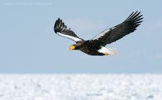 Señor del cielo... Esta foto muestra águila Marina de Steller volando sobre el hielo que cubre el océano. Águila Marina de Steller es el águila más pesada en el mundo y una de las rapaces más grandes. Esta especie está clasificada como Vulnerable por la UICN. Están legalmente protegidas, siendo clasificadas como un tesoro nacional de Japón. La población actual se estima en 5.000 y disminuyendo.