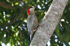 Melanerpes superciliaris o carpintero jabado especie de ave de Cuba, Bahamas, Islas Turcas y Caicos y Gran Caimán. Pertenece a la familia Picidae del orden Piciformes.