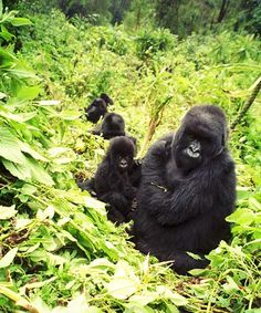 Mountain Gorilla - 10 animals to see in the wild before you die #CheapflightsGG