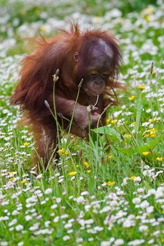 a baby orangutan in a field of buttercups and daisies...what is better?