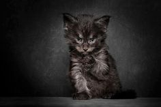 Maine Coon Cats Like Majestic Mythical Beasts by Robert Sijka
