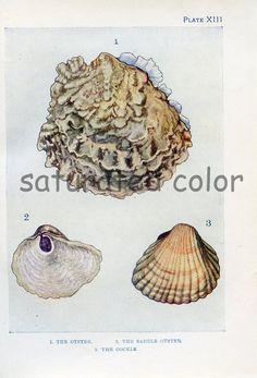 1910 Oyster Shell - Cockle Shell -  Sea Life Vintage Bookplate Print - Antique sea shell print - Beach Ocean Seashore - Plate 13. $7.99, via Etsy.