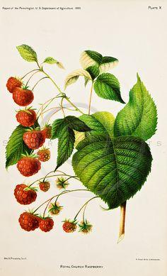 Vintage Raspberry Printable Illustration by SilverSpiralStudio