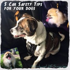 Whirlwind of Surprises: 5 Car #Safety #Tips for your #dogs #ad #travel #pets #dog