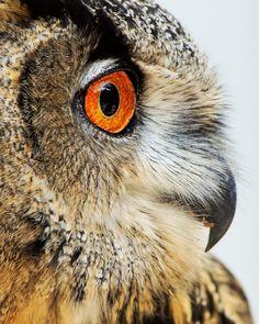 Intense -  Owl Profile Fine Art Bird Photography Print