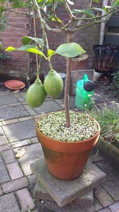 Lemons in my daughters garden.