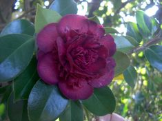 Camellia japonica 'Frederici' (Germany, by 1871)