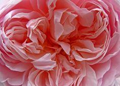 Pink  Rose at Bradford Cathedral