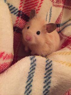 My hamster ❤️❤️