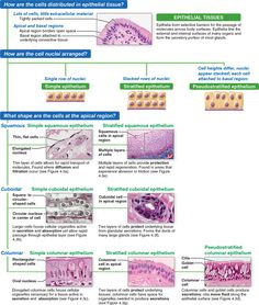 II. Connective Tissue: Human Anatomy Study Biology, Biology Teacher, Science Biology, Cell Biology, Skin Anatomy, Anatomy Study, Medicine Notes, Tissue Types, Medical Laboratory Science