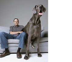 George the Great Dane is long, weighs and is the world's biggest dog. but he's terrified of chihuahuas. Devoted owner Dave Nasser with George, the world's biggest dog. Worlds Biggest Dog, World's Biggest, Baby Dogs, Dogs And Puppies, Doggies, World's Tallest Dog, Great Dane, Animals Beautiful, Cute Animals