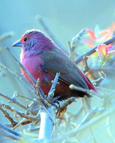 Jameson's Firefinch, absolutely beautiful!!! looks so soft & fluffy
