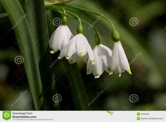 Wild Snowdrops 4k Desktop Backgrounds, Dandelion, Wallpaper, Flowers, Plants, Flora, Wallpapers, Royal Icing Flowers, Dandelions
