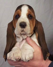 Bassett Hound puppy for sale outside of Philadelphia...some day...some day...