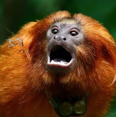 Looks like a piece of wire or something caught on his neck . Golden Lion Tamarin, Cowardly Lion, Photo To Art, Cool Photos, Cute, Animals, Monkeys, Professor, Northern Lights