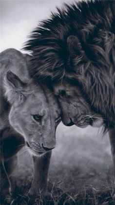 Cuddle with a lion. I would love to be in the presence of such an amazing animal. - Cuddle with a lion. I would love to be in the presence of such an amazing animal. Beautiful Creatures, Animals Beautiful, Cute Animals, Pretty Animals, Pretty Cats, Happy Animals, Beautiful Children, Couple Lion, Citation Lion