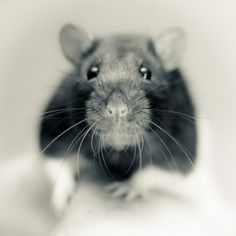 Ever owned a pet rat? Yes and they are amazing