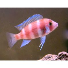 Red Frontosa Cichlid  SMALL