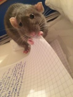 Amy Is learning chemistry😄💜 - Tiere EUT Cute Little Animals, Cute Funny Animals, Funny Cute, Fancy Rat, Cute Rats, Cute Mouse, Animal Jokes, Rodents, Funny Animal Pictures