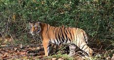 बाघ बचाये जंगल [The tiger save forest] Rare Species, Endangered Species, Sloth Bear, Green Landscape, Travel Companies, Bengal Tiger, Lush Green, National Parks, Wildlife