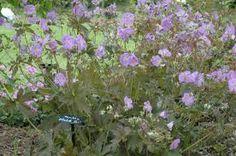Afbeeldingsresultaat voor geranium maculatum elizabeth ann