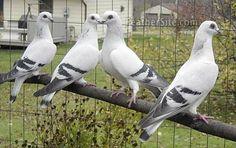 Damascene Pigeons