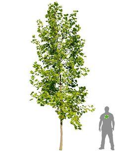 Tulpenbaum boom tulpenboom