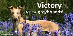 Victory for the Greyhounds! Greyhound advocates won a major victory in England. London Mayor approved a proposal to repurpose the Walthamstow dog track for afforable housing. The track will be demolished. grey2k.com